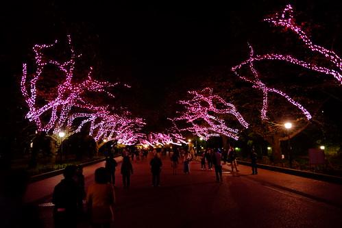 Winter cherry blossom illumination Ueno Akari Park 2016 16