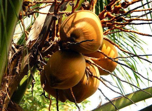for Vietnamese Tet, the coconut, known as 'Dua' symbolizes 'Enough'