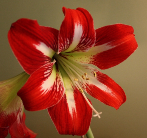 amaryllis_redwhite_bloom