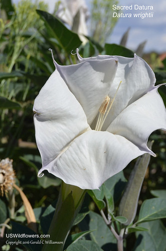 Sacred Datura, Sacred Thorn-apple, Indian Apple, Angel Trumpet - Datura wrightii