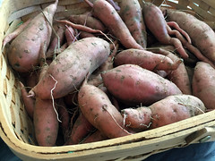 sweet potato harvest IMG_8218