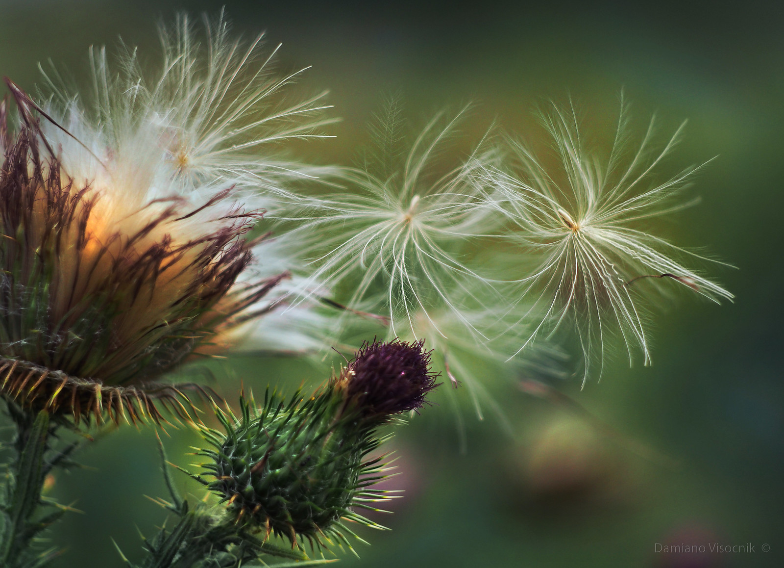 Thistle seed to the wind_B_c