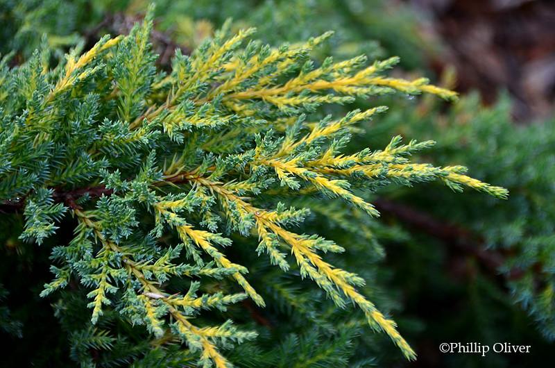 juniper-daubes-frosted