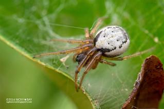 Orb weaver spider (Zygiella sp.) - DSC_3365