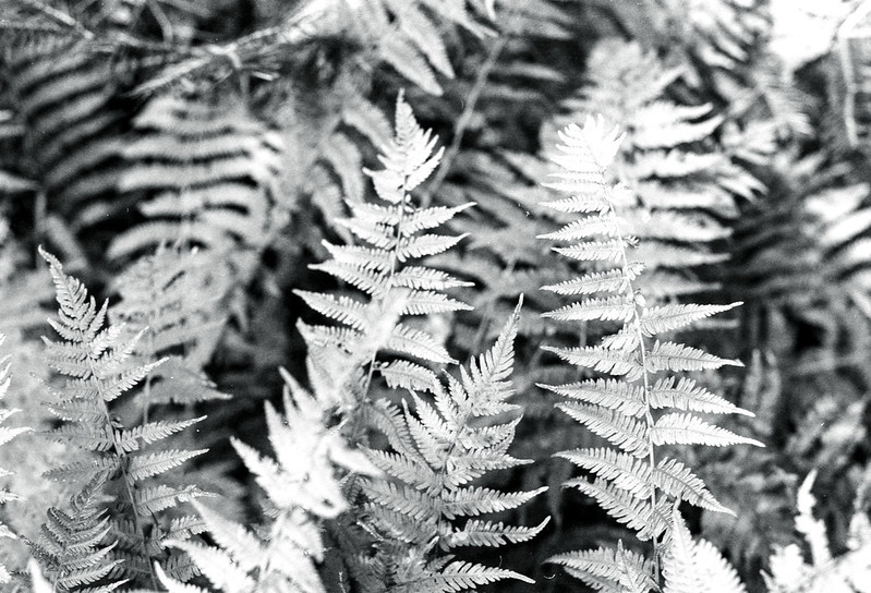 Ferns copy