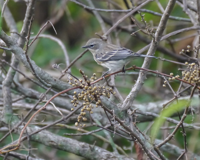 Yellow-rumped Warbler and Poison Ivy - 2
