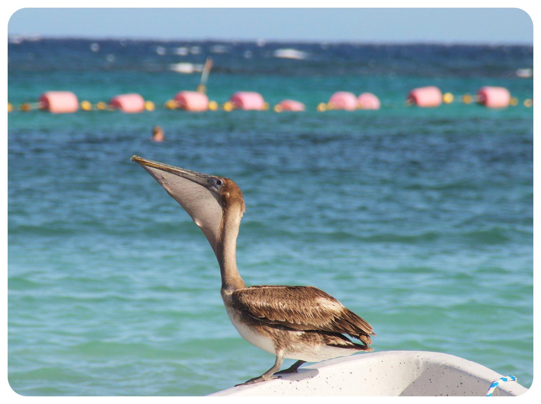 akumal beach pelican