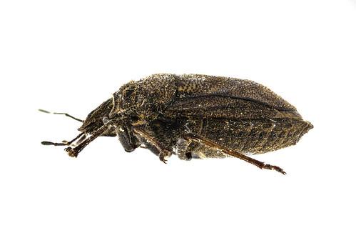 オオクロカメムシ Scotinophara horvathi Distant, 1883-3-3