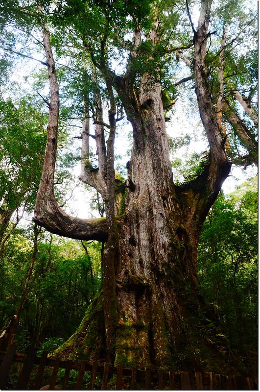 司馬庫斯巨木群大老爺神木 3
