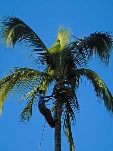 Pruning coconut palm trees in Puerto Vallarta, a beach resort on Mexico's Pacific coast