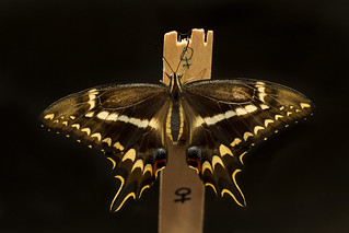 Schaus' Swallowtail butterfly | by USFWS/Southeast