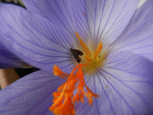 Micro moth - Anthophila fabriciana - Nettle-tap