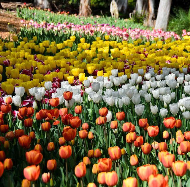sea of colourful tulips