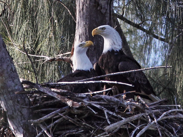 Bald Eagle male-female start recognition ritual 093242AM 20131030