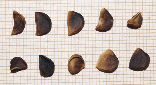 Hesperaloe parviflora 18869681805_4a1b989e4f