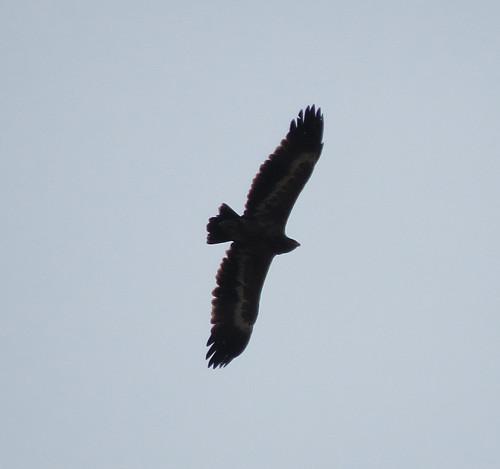 Steppe Eagle Aquila nipalensis (escapee) Cabranosa, Sagres, Algarve October 2016