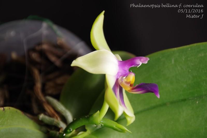 Phalaenopsis bellina f. coerulea 30787747245_e4d165ddd3_c