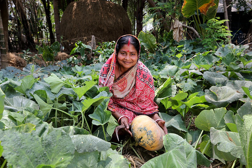 Komola Roy harvesting pumpkin in Khulna, Bangladesh. Photo by Yousuf Tushar.