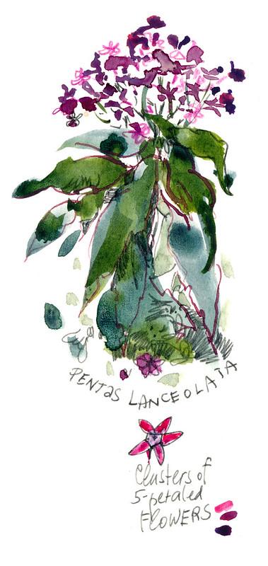 Sketchbook #100: Pentas Lanceolata