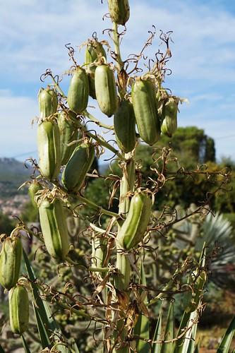 semis de Yucca 15007546421_1896dce895