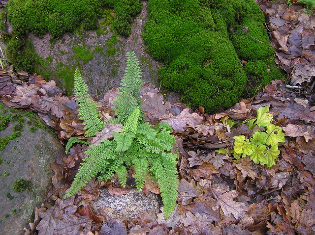 Polystichum setiferum 'Pulmosum Densum' & Heuchera Little Cutie 'Blondie in Lime'
