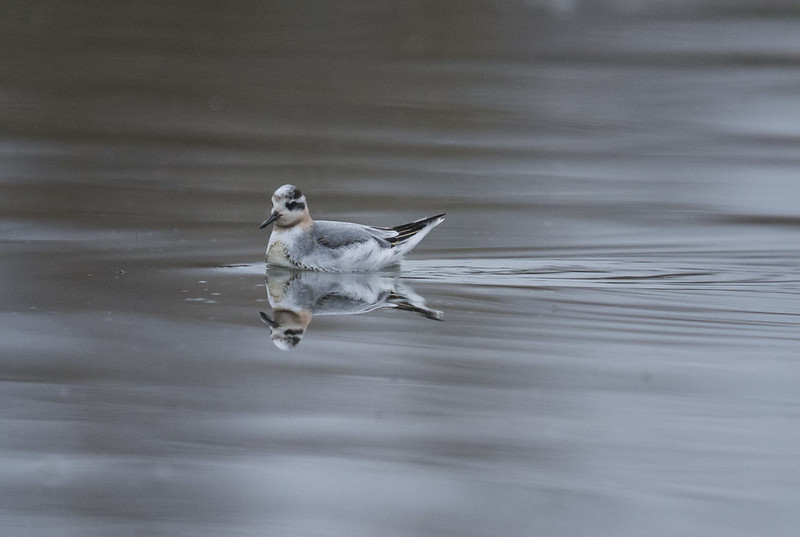 Grey Phalarope, Broom GP, 2nd December 2016