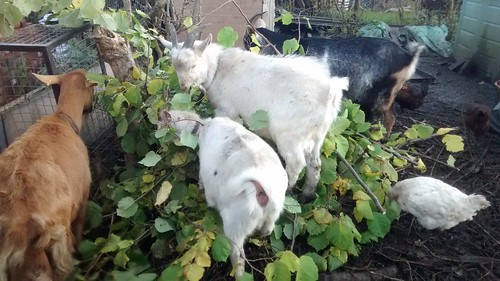 Goats eating branches Nov 16 2