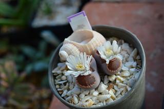 """DSC_4412 Lithops julii ssp.fulleri """"Kikushougyoku"""" 菊章玉"""