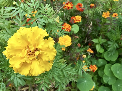 Yellow Tagetes in Fall