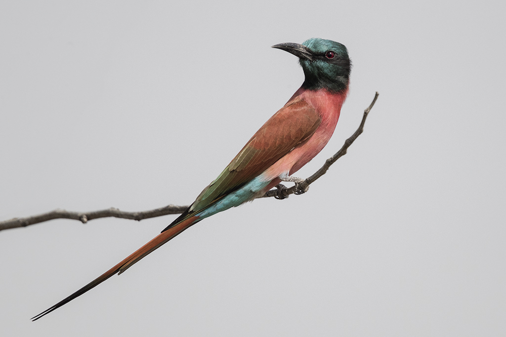 Carmine Bee-eater   Gambia 2016