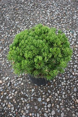 Pinus Pumilo (1)