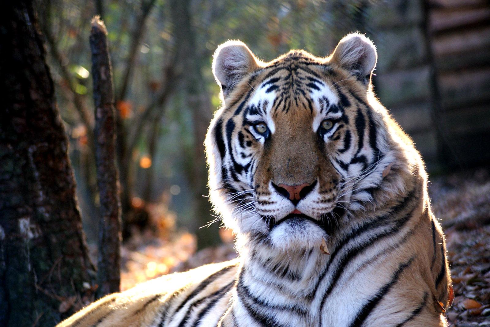 tiger carolina tiger rescue
