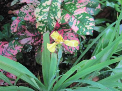 neomarica_longifolia