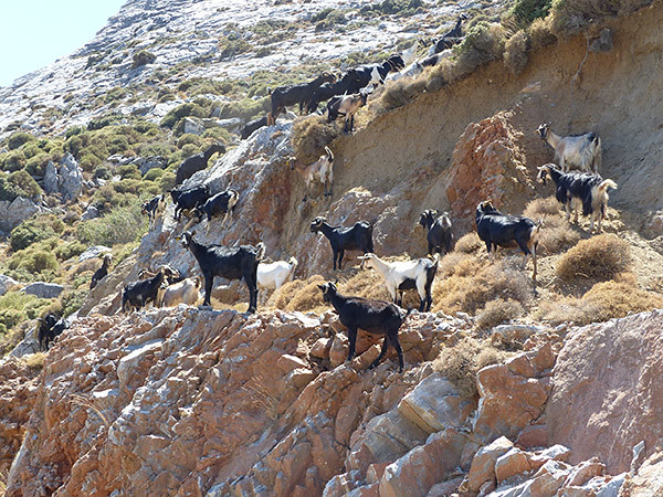 chèvres 4