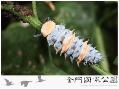 十斑大瓢蟲-03