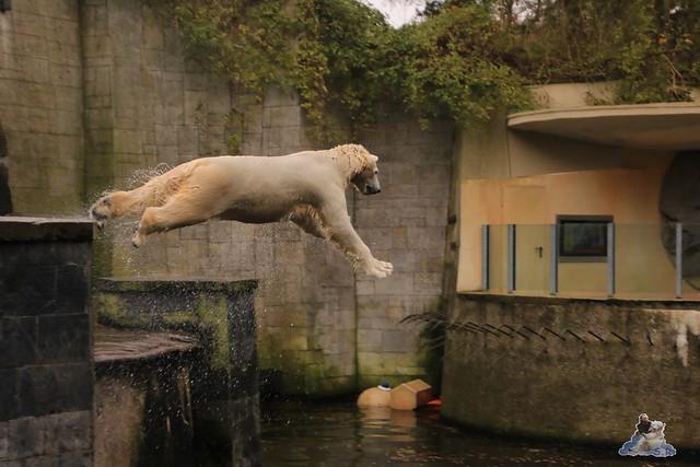 Eisbär Fiete im Zoo Rostock 05.11.2016 004