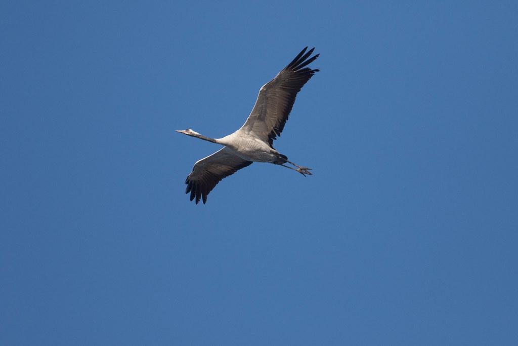 Migration oiseaux pyrnes migration oiseaux pyrnes for Oiseaux du ciel