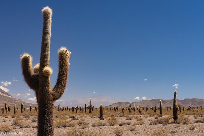Cactus field - Parque Nacional los Cardones