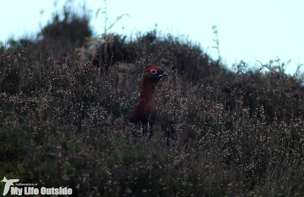 P1060296 - Red Grouse, Ilkley Moor