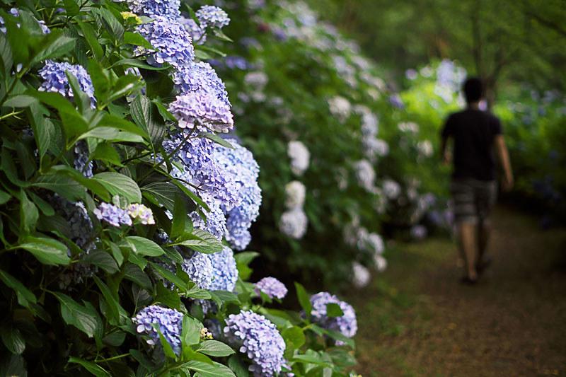 大月市 猿橋の紫陽花