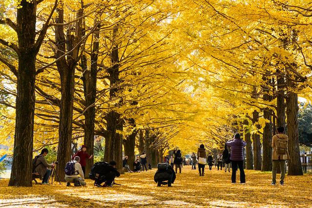 昭和記念公園のイチョウ並木