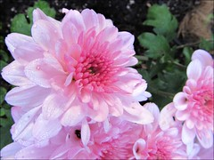 Pink mums, morning dew
