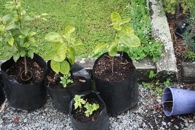 Persimmon - 2015-12-31 - Seedlings