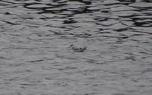 Grey Phalarope Phalaropus fulicarius Tophill Low NR, East Yorkshire November 2016