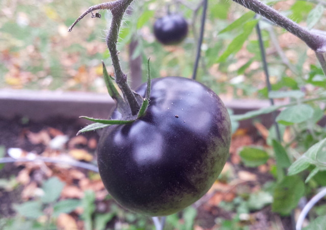 purple tomato with a green bottom