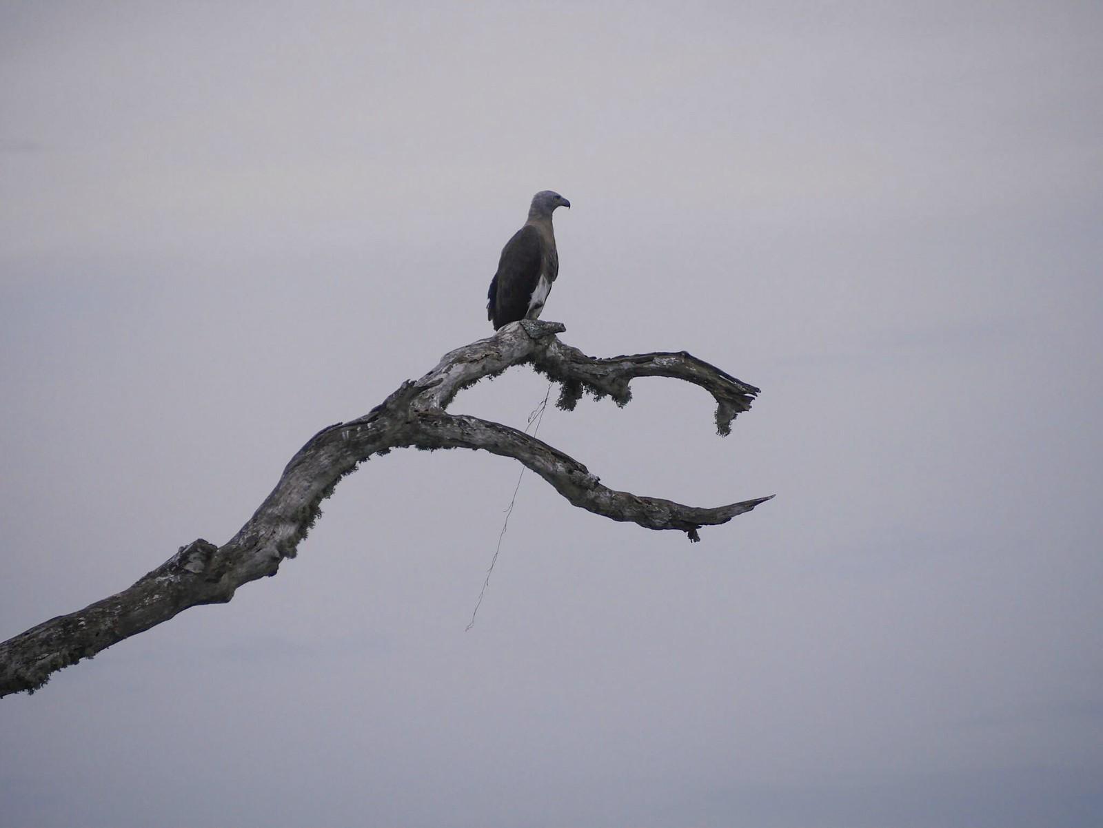 Eagle (Bundala National Park, Sri Lanka)
