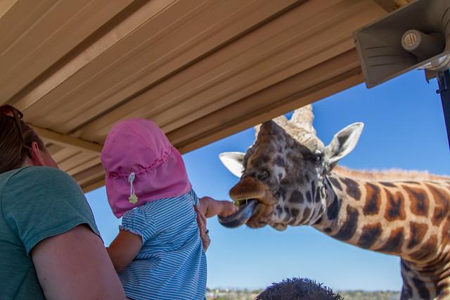 M feeding a Giraffe