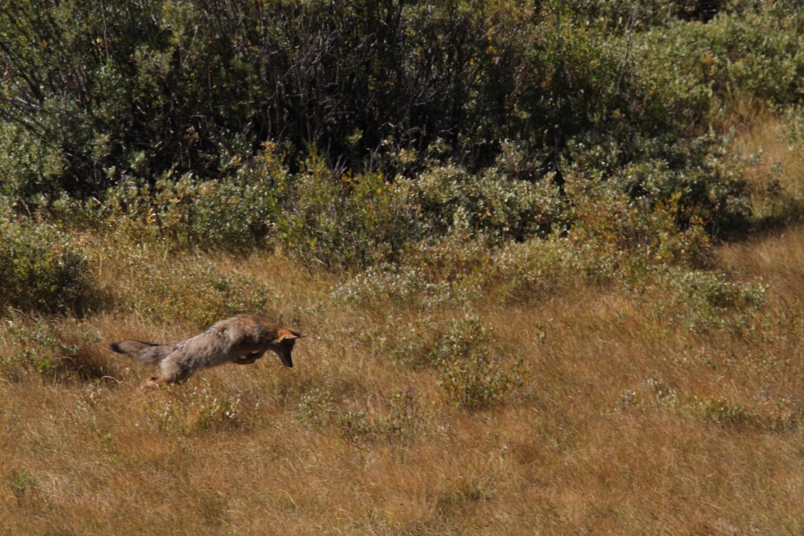 coyote pounce IMG_0335