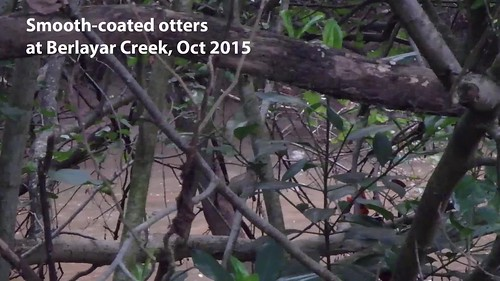 Smooth-coated otters at berlayar creek