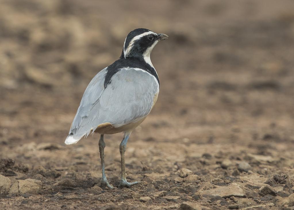 Egyptian Plover-35